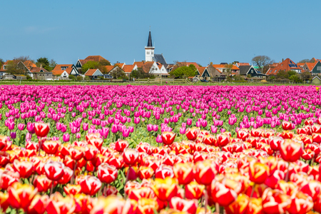 Village view Den Hoorn a small village on the wadden islands Texel in the Netherlands, with colourful tulips in the front