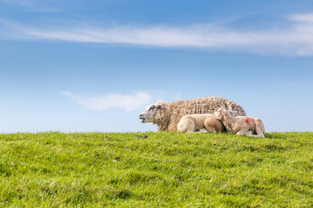 Sheep family resting in green grass in the sun on a dyke at the wadden island Texel in the Netherlands