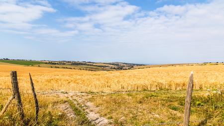 Landscape withdry barley fields in Hampshire, England, United Kingdom