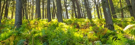 Forest landscape with ferns in the Netherlands Stockfoto - 115482192