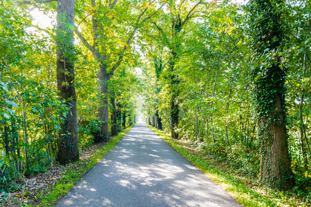 Road surrounded by oak trees. the oak trees are overgrown with hedera Stockfoto