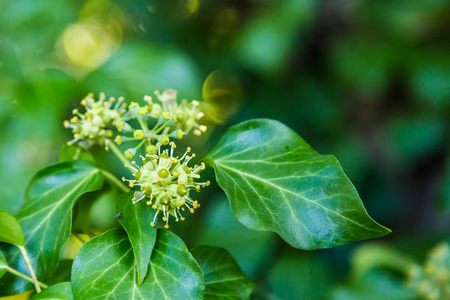 Green blooming hedera in autumn Stok Fotoğraf