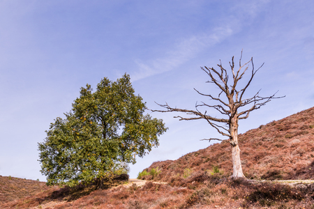 Lifeless heather in National park the Posbank and Veluwe in the Netherlands after the very hot and dry  summer of 2018 Stockfoto - 115482011