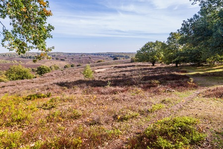 Lifeless heather in National park the Posbank and Veluwe in the Netherlands after the very hot and dry  summer of 2018 Stockfoto - 115482035