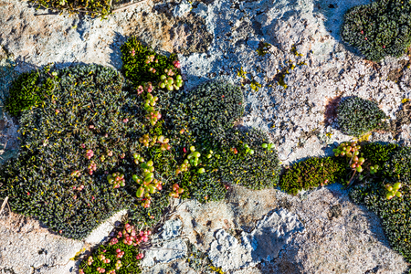 Different kinds of colorful short mosses growing at an archeological site in Sardinia, Italy