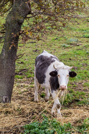 Black and white cow eating dried grass on Sardinia island, Italy