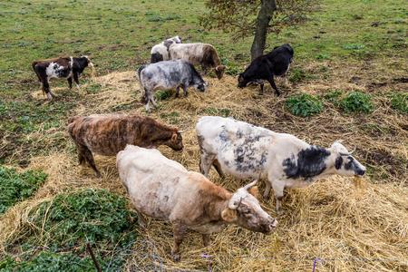 Herd cows eating dried grass on Sardinia island, Italy Stockfoto