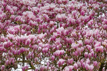 Blooming pink Tulip or magnolia tree during springtime