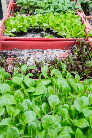 Young salad plantas to plant in the vegetable garden for s ale on the market Stockfoto