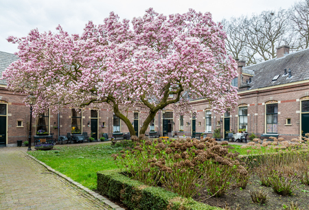 Row of medieval little houses with a pink bllooming tulip tree in the old city center of Zutphen in the Netherlands.