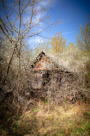 Abandoned little house overgrown with blooming trees an bush in Belarus Chernobyl exclusion zone, recently opened for the public from april 2019.
