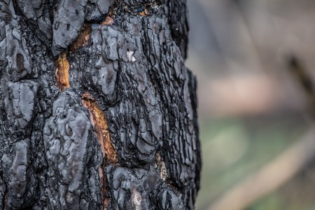 Close-up of burned bark of a  tree in burned forest Stockfoto
