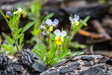 Wild pansy flower between burned bark of a tree. A sign of new life.