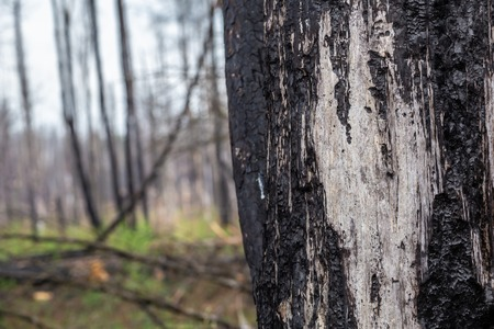 Close-up of bark of a  tree in burned forest