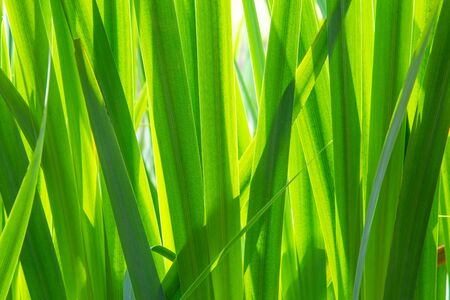 Texture background with green leaves of a yellow iris growing in a little Dutch fen or lake in the Netherlands