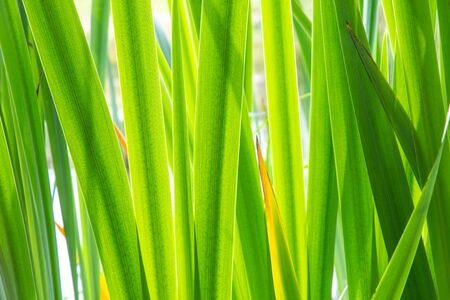 Texture background with green leaves of a yellow iris growing in a little Dutch fen or lake in the Netherlands Фото со стока