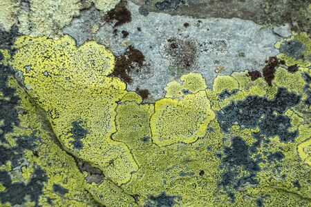 Yellow green lichen growing on a rock in Rondane National Park in Oppland Norway
