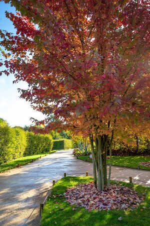 Garden or park design with colorful ash trees in autumn colors and a small walkway