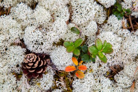 White reindeer moss (Cladonia stellaris)backround an important food source in arctic regions for reindeer and caribou during the winter months Reklamní fotografie
