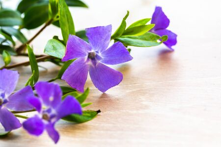Purple Periwinkle Vinca flower (Apocynaceae) on light wooden background with copy space