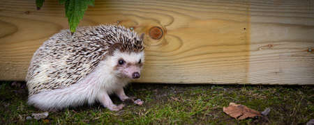 Panoramic view of an adorable African white- bellied or four-toed hedgehog playing outside on grass
