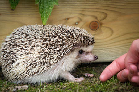 An adorable African white- bellied or four-toed hedgehog smelling a hand for recognition outside on grass