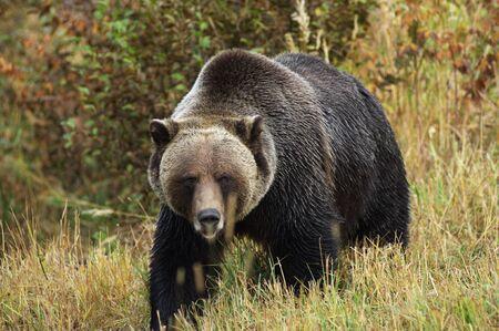 male Grizzly Bear walking through mountain meadow.