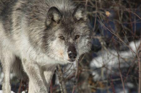 gray wolf: Gray Wolf Stock Photo