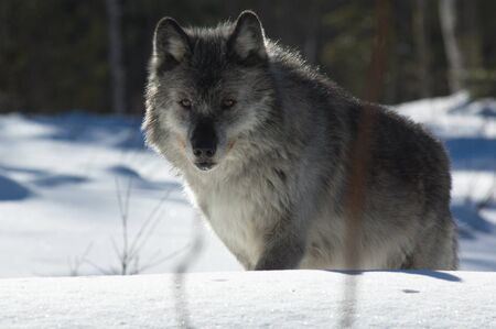 Gray Wolf Stock Photo - 8940345