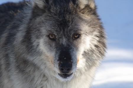 gray wolf: A female gray wolf in snow during winter