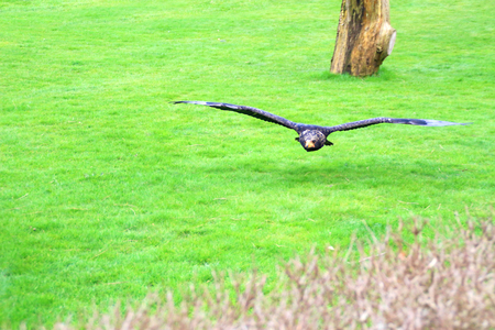 Hawk or eagle in flight on hunt over grass Stock Photo