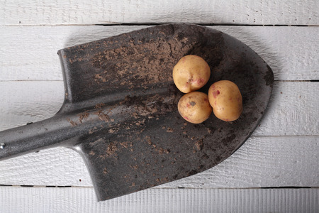 Three potatoes on a shovel on a wooden white background.