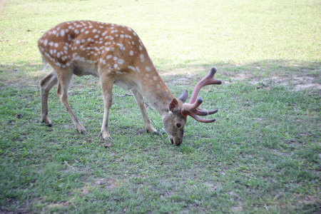 Animals - Sika deer Cervus nippon eats a grass on a green pasture Stock Photo