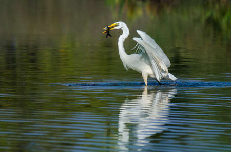 hunted: WHITE HERON - heron with a fish hunted Stock Photo