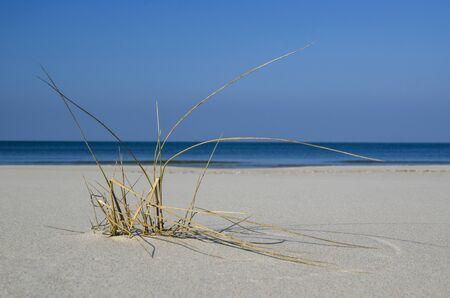 sea grass: SEA GRASS ON THE BEACH - Baltic coast. Sea grass grows in the wild sea beach.