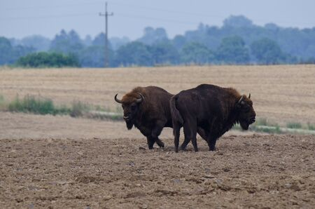 plowed field: Two bison standing on a plowed field Stock Photo
