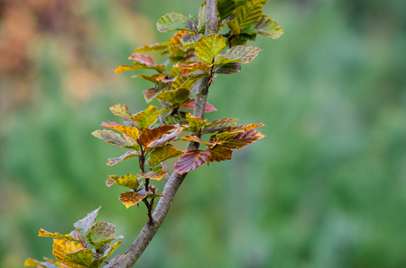 AUTUMN. Yellow leaves beech tree in autumn