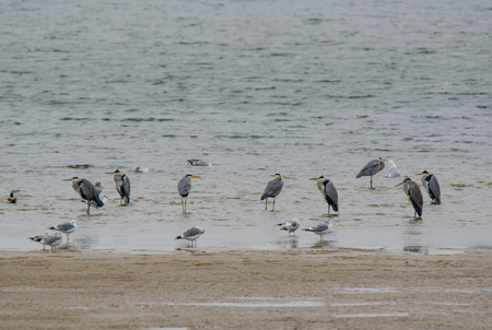 gray herons: Herons. A flock of herons on the sea shore Stock Photo