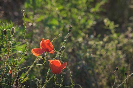 poppies: POPPIES