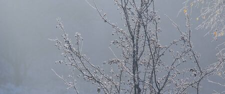 icily: FROST ON TREES. Frosty autumn morning with fog and frost
