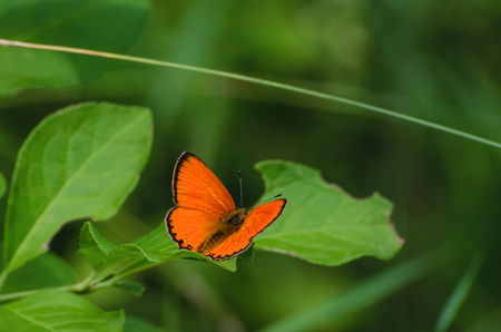 BUTTERFLY - SCARCE COPPER Stock Photo