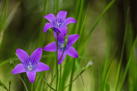 bellflower: BELLFLOWER - WILDFLOWERS IN THE MEADOW Stock Photo
