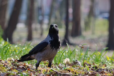 DUN CROW - Portrait of a wild bird in urban park Stock Photo