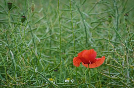 RED POPPY - Colorful flower blossomed in the field in rape Stock Photo