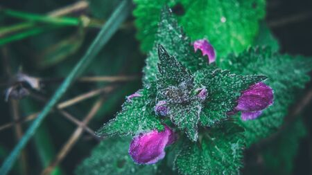 NETTLE - Flowers and leaves of the plant in morning dew