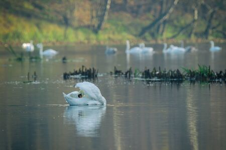 SWANS - Wild bird on a lake in the morning