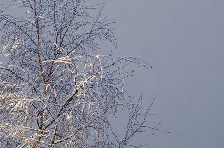 WINTER - Snow on twigs of birch tree