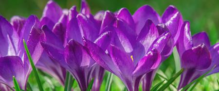 CROCUSES - Blooming flowers of early spring