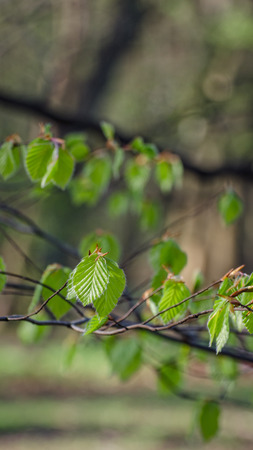 SPRING IN THE PARK - Young leaves on beech branches