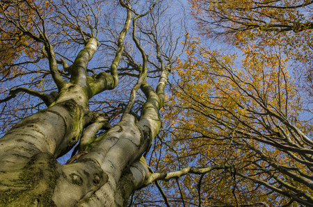YELLOW AUTUMN - Canopy of colorful beech leaves Imagens
